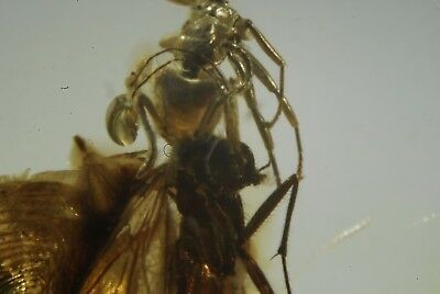 Super rare interaction Ant with Prey between the jaws inclusion in Baltic Amber