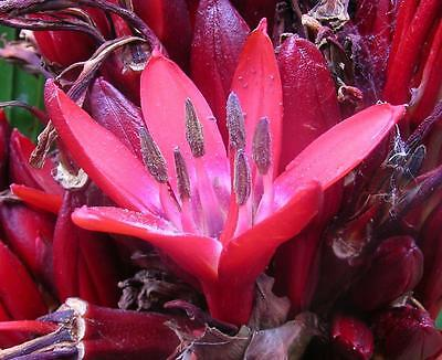 GIANT FLAME LILY,Doryanthes excelsa,GYMEA LILY,FEATURE PLANT,SEEDS,XERISCAPE