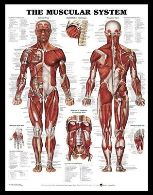 (Framed) Muscular System POSTER (72x57cm) Anatomical Chart Human Body Anatomy