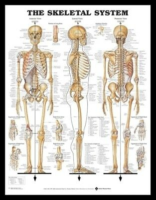 (Framed) Skeletal System Poster (72X57Cm) Anatomical Chart Human Body Anatomy