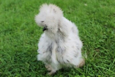 WOW 6 Of the best silkie hatching eggs (Crested, bearded and tufted}