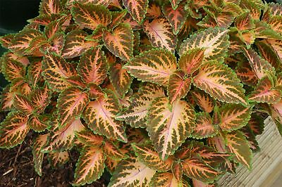 Flower - Coleus - Wizard Coral Sunrise - 30 Seeds