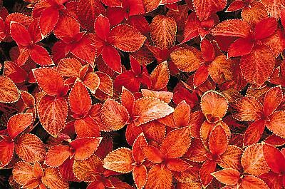 Flower - Coleus - Wizard Sunset - 30 Seeds