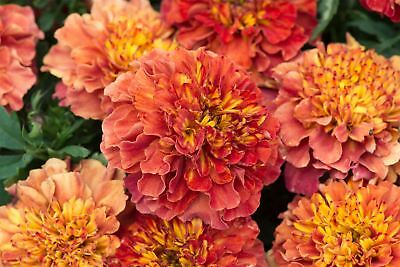 Flower - French Marigold - Strawberry Blonde - 20 Seeds