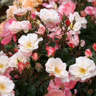 Fire Opal  NEW!  (Bare - Rooted Rose)  - 2 Year old Plant