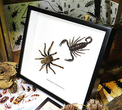 spider framed  ***SALE $155 now $105***  real  large Spider and Scorpion BGTSD