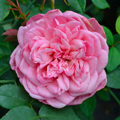 Monsieur Tillier Old Fashioned Rose (Bare - rooted) - 2 Year old Plant