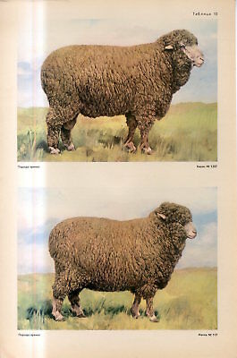 c1940s PREKOS BREED SHEEP PREKOS MALE FEMALE SHEEP Antique FOLIO Print