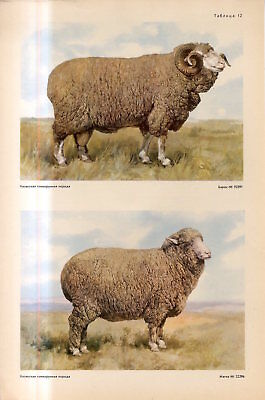 c1940s KAZAKH ALTAI BREED SHEEP KAZAKH MALE FEMALE SHEEP Antique FOLIO Print