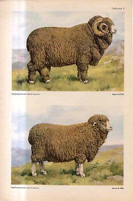 c1940s AZERBAIJAN MOUNTAIN MERINO SHEEP BREED MALE FEMALE Antique FOLIO Print