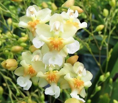 RON. Special Orchid  deal - 3 different Onc Twinkle plants (2199)
