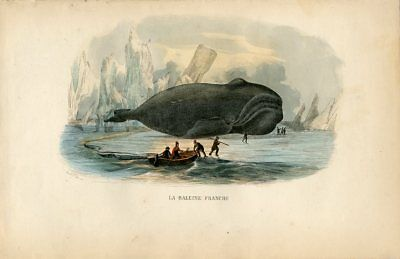 1853 SOUTHERN RIGHT WHALE Antique Hand Coloured Print Lacepede