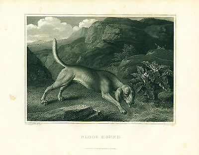 Dog Print 1804 Bloodhound Dog by REINAGLE Antique