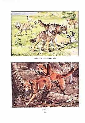 1919 Vintage Print ~ Timberwolf, Coyote, & Dingo Painting ~ a/s Louis Fuertes