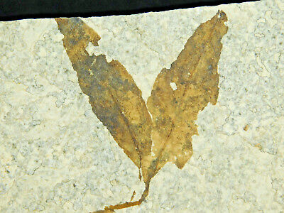 A Neat and 100% Natural 50 Million Year Old LEAF Fossil from Wyoming! 254gr e