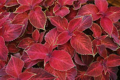Flower - Coleus - Wizard Velvet Red - 150 Seeds - Large
