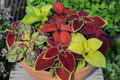 Flower - Coleus - Wizard Merlin Mix - 150 Pelleted Seeds - Large