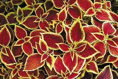 Flower - Coleus - Wizard Scarlet - 150 Seeds - Large