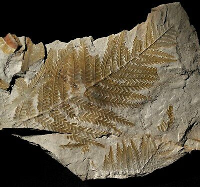 Museum quality pre dinosaur fossil fern lifetime looking, unique green color !!!