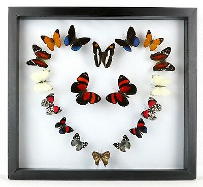 Real mounted butterflies; butterfly collection; framed art; LOVE; UNIQUE GIFTS