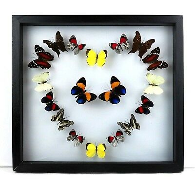 Framed real butterflies collection, GORGEOUS SPECIAL ValentinesDay Birthday gift