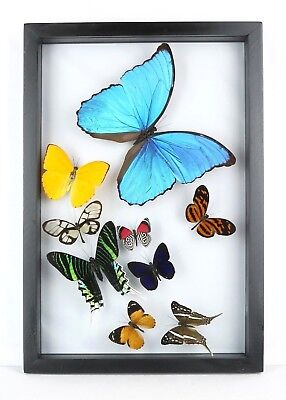 """Real mounted butterflies in 8.5"""" x 12.5"""" wood frame. GORGEOUS UNIQUE gift"""