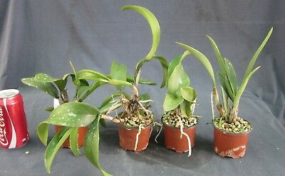 RON. Orchid deal. End of Line Clearance of 80mm Cattleyas - lucky dip (2626)