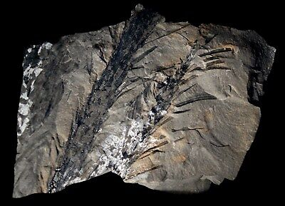 Nice pre dinosaur fossil plant young leafy Lepidodendron twig - Lycopod branch