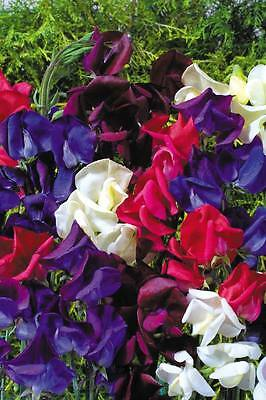 Flower Sweet Pea Old Spice Starry Night - 15 seeds