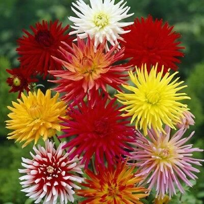 Flower Dahlia Cactus Flowered Mix Appx 160 seeds - Annual
