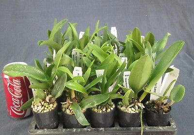 RON. Bulk Orchid deal - 30 different Cattleya NQR clones 50mm tubes (2713)