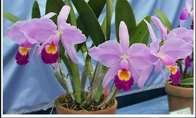 RON. Cattleya Orchid seedling - species - C. eldorado x sib (2742)