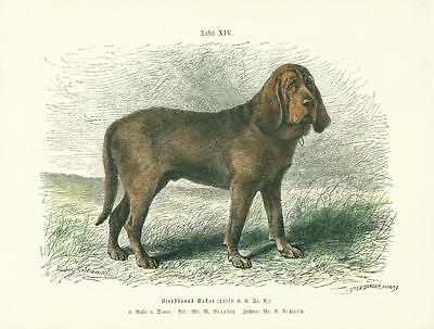 German Dog Print 1894 Bloodhound Dog Hand Colored by Ludwig Beckmann