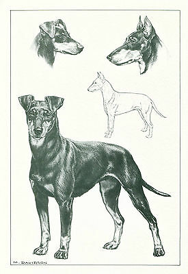 Dog Art Print Manchester Terrier by Davidson