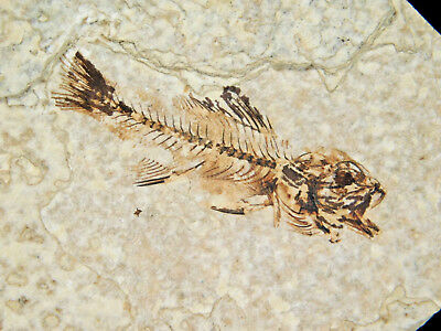 ULTRA RARE! TWO TINY BABY or Fry Priscacara Fossil Fish Found in Wyoming 52.0gr