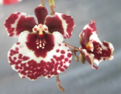 RON. Bulk Orchid Tolumnia deal. 5 different named Tolumnias - group 2 (2794)