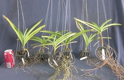 RON. Bulk Orchid deal - Imported Vanda Lucky Dip (2813)