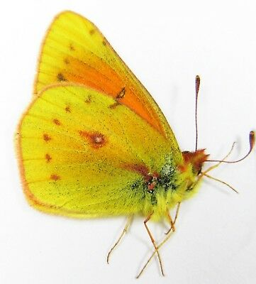 2993# Colias Vauthierii Male - Unmounted