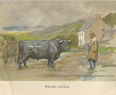 Vintage Art Print BOVINE CHAMPION WELSH CATTLE COW 1948  ILLUS.BY LIONEL EDWARDS