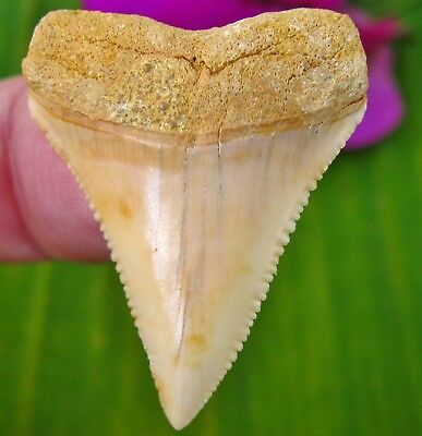 Superb Chilean Fossil Great White Tooth Chile Shark teeth not Megalodon
