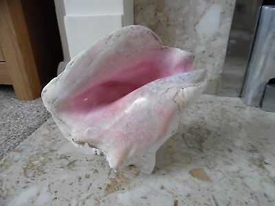 Large natural conch shell