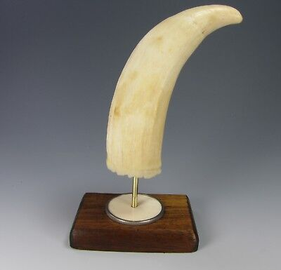 Faux whale tooth wood display stand