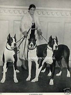Woman & 3 Great Dane Dogs  1934 W/ Boston Terrier Markings Vintage Dog Photo