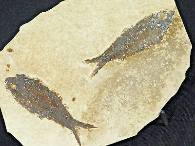 TWO! Larger 50 Million Year Old Knightia Fossil Fish Found in Wyoming 335gr e