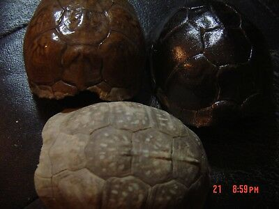 Box Turtle Shell  Terrapin Reptile   Art Craft  decoration, painting  set of (3)