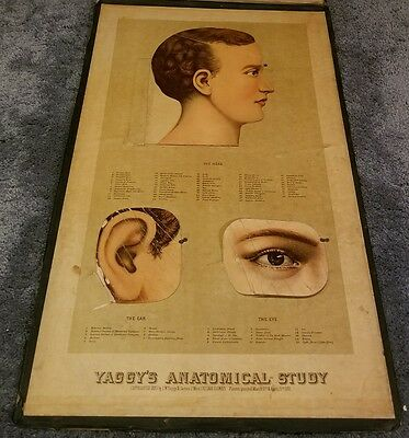 Antique 1885 Yaggy's Anatomical Study of Human Anatomy Doctors Charts Art Prints