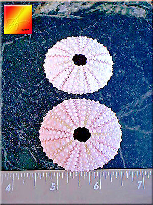 2 Pink Sea Urchin Seashells Shells Beach Wedding Craft Nautical Decor Airplants