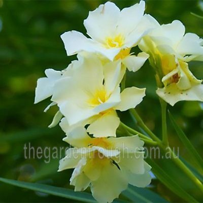 Nerium oleander Aurea Luteum Plennum (Established Plant) - 67mm x 150mm Pot