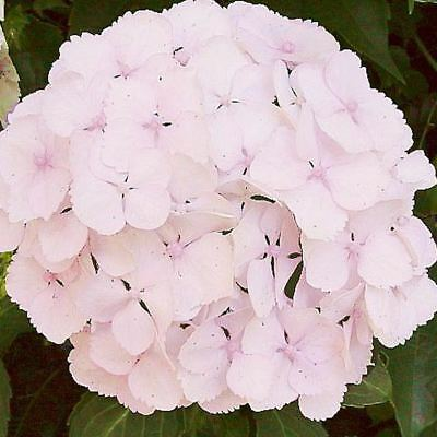 Hydrangea macrophylla Marie Claire (Established Plant) - 67mm x 150mm Pot