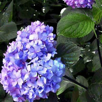 Hydrangea macrophylla Nigra (Established Plant) - 67mm x 150mm Pot